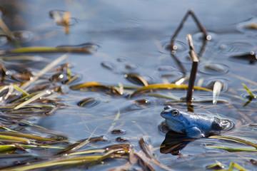 Moor frogs