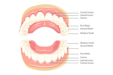 Teeth Anatomy