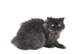 black persian longhair kitty cat poster