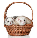 Ferrets lying in basket