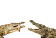 Alligator kämpfen um Nahrung