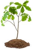 Fototapety Eight-year oak tree