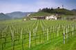 filari di viti sulle colline di treviso