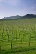 filari di uva prosecco a Valdobbiadene-Treviso