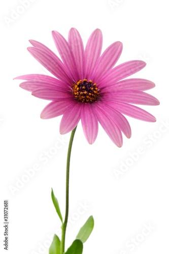 Foto op Plexiglas Gerbera Pink daisy flower