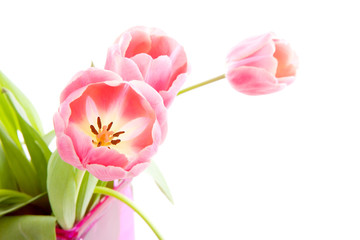 Pink Dutch tulips over white background