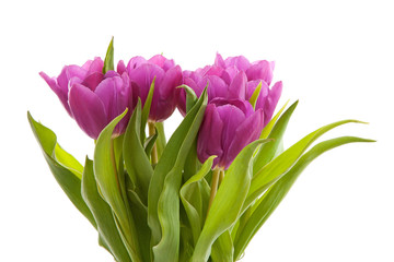 Purple Dutch tulips over white background