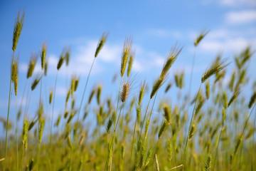 Green grass locustas