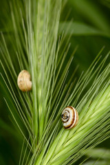 Snails on a grass spikelets