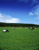 Holstein-FresianCattleNearCarrickOnSuir, Co Waterford, Ireland