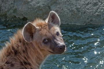 Spotted hyena (Crocuta crocuta). Bioparc, Valencia, Spain