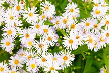 Magenta asters flowerbed