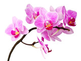 isolated orchid-