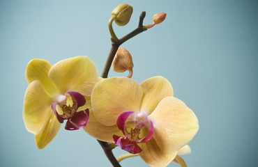 Yellow Orchid Flower isolated on blue background
