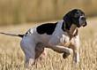 Hunting dog - 31087432