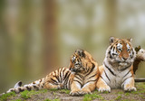 Beautiful image of tigress relaxing on grassy hill with cub poster