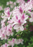 Cascade of Pale Pink Azaleas