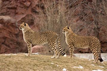 cheetahs couple