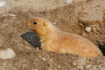 Prarie dog in his hole