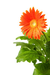 Isolated Gerbera