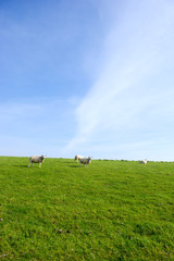Sheep at the grass dike