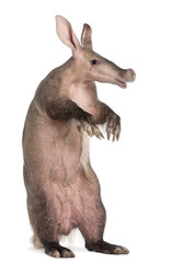 Aardvark, Orycteropus, 16 years old, standing in front of white