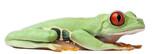 Red-eyed Treefrog, Agalychnis callidryas, sitting poster