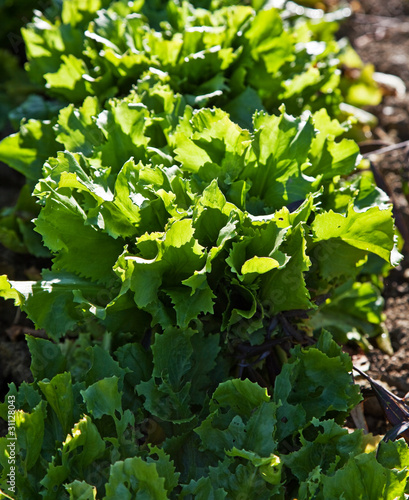 Salad in a kitchen garden.