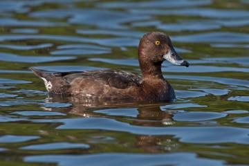 Tufted Duck (Aythya fuligula, female) swim on the lake