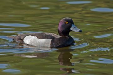 Tufted Duck (Aythya fuligula, male) swim on the lake