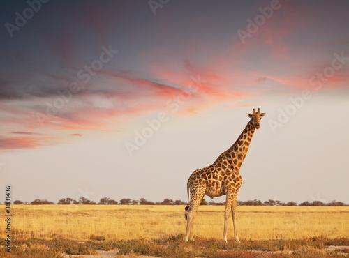 Keuken foto achterwand Giraffe Giraffe