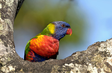 Colourful Rainbow Lorikeet