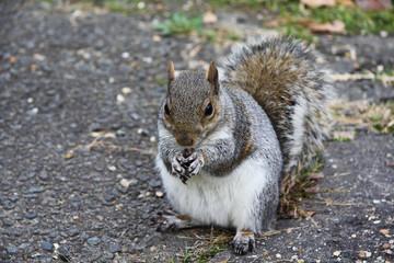 Squirrel eats a nut