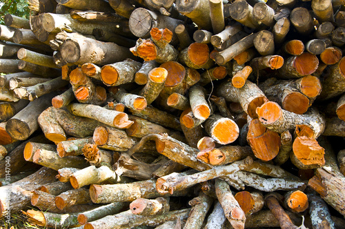 Logs from a tree on timber cutting