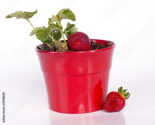 Plant de fraisier dans un pot rouge de magalice photo libre de droits 31148 - Quel fraisier choisir ...