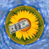 Dollar on a background of sunflowers