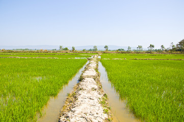 Rice sprout in the water field.