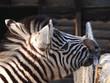 Zebra beisst in stange