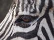 Zebra Auge