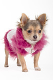 Chihuahua in a jacket with pink hood