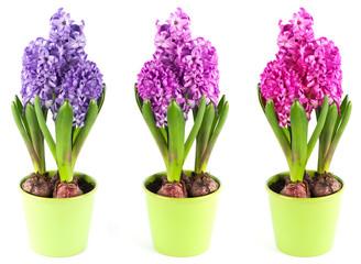spring hyacinth flower in pot