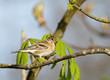 Fringilla montifringilla - Pinson du Nord - Brambling