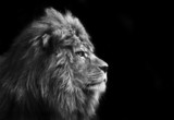 Fototapety Stunning facial portrait of male lion on black background in bla