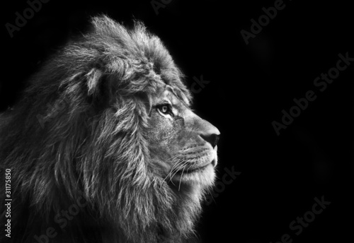 Stunning facial portrait of male lion on black background in bla