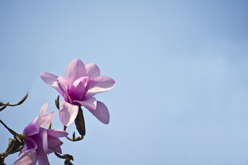 Beautiful detail of fresh magnolia Spring blossom on vibrant blu