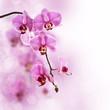 Fototapeten,orchid,rosa,phalaenopsis,blume