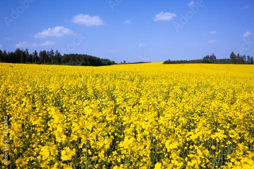 Ein Rapsfeld im Mai in einer thüringer Landschaft
