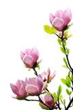 Fototapety Spring magnolia tree blossoms