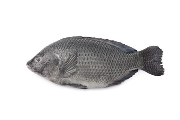 Whole single fresh Tilapia fish