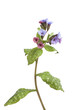 Sprig of lungwort